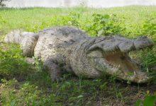 Photo of Tourisme interne : À la découverte des crocodiles sacrés de Sabou.